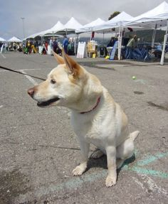 australian cattle dog mix with labrador