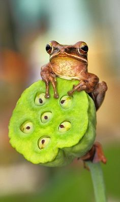 A couple of frogs cuddling on a branch. Picture: Photographer Lessy Sebastian / Barcroft Media