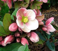 Hellebores - shade plants . Beautiful, deer resistant, hardy Hellebores.  Pinner says - Some of my hellelbores are already blooming.  I'd like to add these for next year, though I doubt they would bloom quite so early...