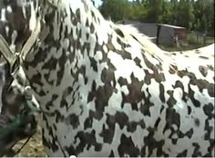 unusual horse breeds - Here are better pictures of Mystic Warrior(Domino). All The Pretty Horses, Beautiful Horses, Animals Beautiful, Cute Animals, Appaloosa Horses, Leopard Appaloosa, Horse Markings, Rare Horses, Horse Pictures