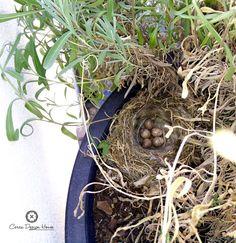 Hoje acordamos com um ninho num dos vasos à porta de uma villa. As vantagens de estarmos no campo é poder assistir a estes milagres da natureza animal.