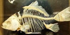 скелет рыбы - Поиск в Google