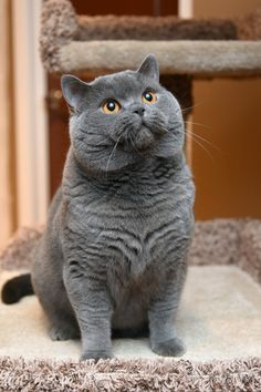 Pretty Cats, Beautiful Cats, British Blue Cat, Chartreux Cat, Baby Animals, Cute Animals, British Shorthair Kittens, Cat Species, Image Chat