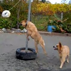 Action like this could get the maligned game of tetherball off the fringes of the grade-school playground and onto ESPN, where it belongs. The business of the A Bar G Ranch in California is breeding Australian Cattle Dogs, but the animals' fun is their business, too.