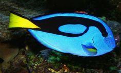 Great Beginner Fish for a Saltwater Aquarium: Blue Tang (Paracanthurus hepatus) Saltwater Aquarium Beginner, Saltwater Aquarium Setup, Saltwater Fish Tanks, Reef Aquarium, Aquarium Fish Tank, Fish Aquariums, Poisson Mandarin, Fish Tank Design, Salt Water Fish