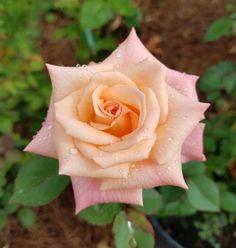 Mini flora seedling Sheer elegance xcanary diamond