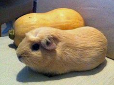 guinea pig stunt double.. haha I don't know why I find this so funny