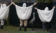 Biologists disguise themselves as cranes to lure endangered birds to their new home