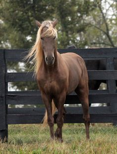"""Rocky Mountain Horse. I would name one if it was a boy Prince of the night or """"Prince"""" for short, and if i had a girl she would be named Autumn Winds or """"Wendy"""" for short."""