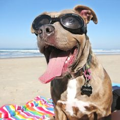 Doggles ILS Protective Eyewear for Dogs - Your best friends eyes will be protected with these specially made goggles for dogs. This happy pooch is proof!