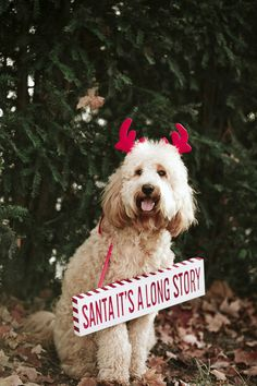 """canine holiday photos, Golden doodle wearing red antlers and """"Santa it's a long story"""" sign"""