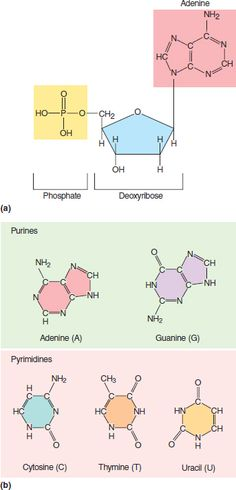 Deoxyribonucleic acid (DNA) is the hereditary matter in cells that makes up the repository for genes. DNA's structure consists of sugar, phosphate groups,and nitrogenous bases in its nucleotides. These bases are cytosine, thymine, adenine, and guanine. Cytosine and thymine are classified as pyrimidines that have a single ring. Adenine and guanine are classified as purines that have a double rings. Adenine base pairs with thymine (uracil only in RNA), and cytosine base pairs with guanine.