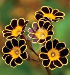 Beautiful, old-fashioned and wonderful as a pot, garden plant or cut flower. Primula 'Gold Lace' lasts nearly two weeks once cut and I use this Polyanthus as an edible flower, scattered over jewelled rice or couscous.