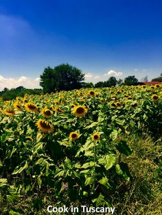 Picture from early August. The sunflowers are fading now.   www.cookintuscany.com   #tuscany #montefollonico #cookintuscany #Italy #cookingschool #culinary #cooking #school #montepulciano #class #schools #classes #cookery #cucina #travel #tour #trip #vacation #pienza #florence #cook #tuscan #cortona #allinclusive #underthetuscansun
