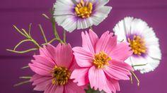 Cosmos Tutorial / Anleitung für Kosmeen aus Blütenpaste (2 Methoden)