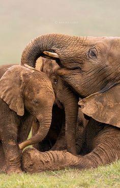 Cute Baby Elephant, Elephant Art, African Elephant, Elephant Videos, Elephant Pictures, Cute Animal Pictures, Animals And Pets, Baby Animals, Cute Animals