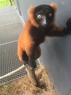 Rode vari 😳  Red ruffed lemur