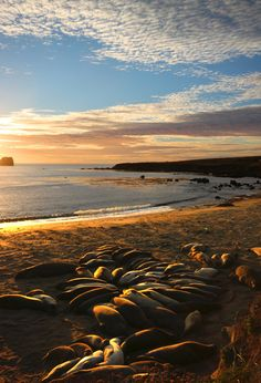 Piedras Blancas Beach's Elephant Seals, San Simeon, CA