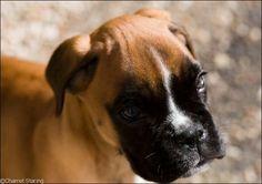 Dexter ♥ boxer dog