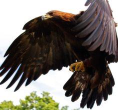 L'Aquila Reale (Aquila Chrysaetos) #AnimaliVolanti