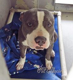 A4789358 I am a very loving and wiggly female blue/white pit bull mix. I came to the shelter as a stray on Jan 5. available 1/9/15 NOTE: Bully breeds are not kept as long as others so these dogs are always urgent!! Baldwin Park shelter https://www.facebook.com/photo.php?fbid=906414449370393&set=a.705235432821630&type=3&theater