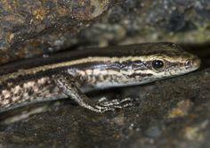 Cryptoblepharus eximius Pygmy snake-eyed skink, Kadavu, Fiji