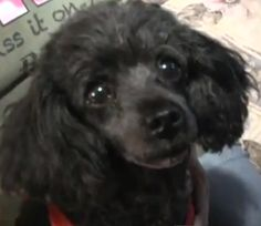 Toy Poodle saves owner from grand mal seizure