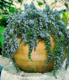 How To Grow Rosemary Easily In Small Space Growing Rosemary In Pots Rosemary Plant Care Balcony Garden Web Balcony Garden, Garden Planters, Garden Web, Garden Design, Container Plants, Container Gardening, Rosemary Plant Care, Grow Rosemary, Rosemary Garden