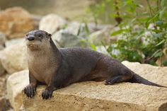 They talked, in a quiet desultory fashion, of badgers, otters.... --Master and Commander, Chapter 9 // English river otters are the cutest thing ever!