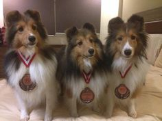 Proud Shelties!