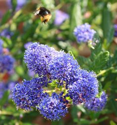 Ceanothus, or California lilacs, may have stems that are too slender for nesting birds, but their blue flowers are great for honeybees and bumblebees #homesfornature