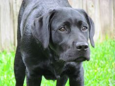 Hawkeye - pure english lab