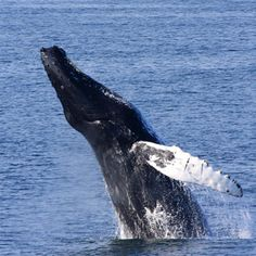 Whale-Watching in Provincetown, MA On the tip of Cape Cod, a low-key beach retreat. Travel Time: Under 6 hours from New York City Distance: 298 miles from New York City Type: Road Trip, Adventure