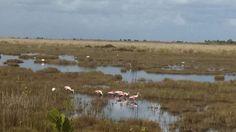 Pink spoonbills
