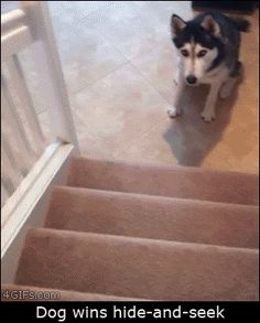 This dog who proved to be the most masterful at hide-and-seek. | The 47 Absolute Greatest Dog GIFs Of 2013