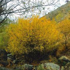 تهران - مسير كلكچال - امروز صبح  Tehran Today's Morning-kolakchal  #tehran #tehranphoto #tehrangram #tehrancity #tehranmunicipality #tehranstagram #tehranpicture#leave #leaves #autmn #autumn #autmnleaves#autmncolors#yellow#contrast#autmn#nature#tree#trees#summerend#rainyday#mywiew
