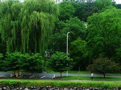 Willow tree. Ithaca, NY. Photo by Gabriela LeBaron. #travel #trees
