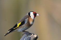 European Goldfinch at Warnham Nature Reserve