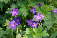 Geranium Wlassovianum, Hardy Geranium, Siberian Geranium, Best geraniums, Purple Geranium