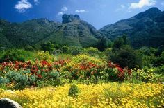 Kirstenbosch Botanical Gardens in South Africa. One of the most beautiful gardens I've visited Cape Town Tourism, National Botanical Gardens, Most Beautiful Gardens, Travel Planner, Rest Of The World, World Heritage Sites, Natural World, Places To See, South Africa