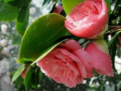 Middlemists flower
