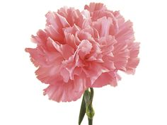 "Carnation: red = admiration, white = pure/innocent love, pink = ""i'll never forget you"" - 1st anniversary"