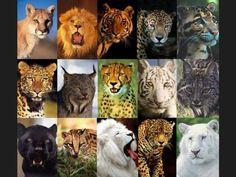 Hola a continuacion les dejo una lista con los principales felinos del mundo.Los félidos (Felidae) son una familia de mamíferos placentarios del orden Carnivora. Poseen un cuerpo esbelto, oído...