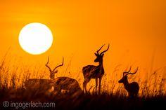 Sunrise at Masai Mara.   Dream the dream.  www.ingogerlach.com