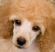 poodle puppy eyes ... Dog training portal... not just for #poodles http://dogtrainingvideos...