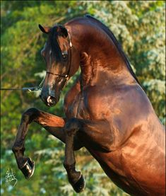 Gemini Ranch Arabian Stallion rearing. LOVE the copper sheen to his coat... wow! #Equine #Horse #photography
