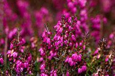 Erica carnea 'Challenger' | heather 'Challenger'/RHS Gardening