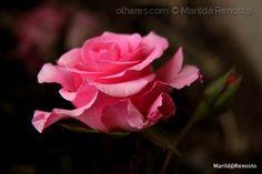 Rosa em macro
