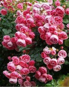 Красивые Сады, Розовые Розы, Розовые Цветы, Вьющиеся Розы, Цветочные Серьги, Красные Розы, Цветочные Букеты, Садовые Полки, Ландшафт