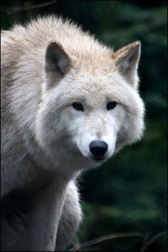 wild animals | Hudson Bay Wolf